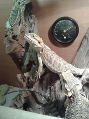 6 and 7 month bearded dragons